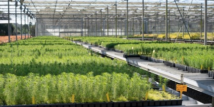 Sonae Arauco plants 21,600 pine trees on the second stage of its forest R&D Project